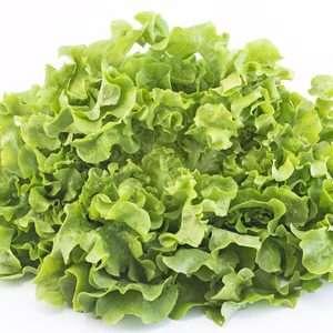 56470675 - oak leaf lettuce isolated on white.